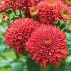 Chrysanthemum Gompie Red  Perennial  -  potted plants