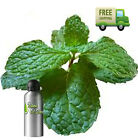 PURE PEPPERMINT ESSENTIAL OIL M. balsamea Willd NATURAL ESSENTIAL OILS UNDILUTED