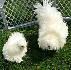 12+silkie frizzled sizzle hatching eggs