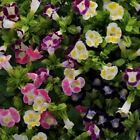 Outsidepride Torenia Fournieri Flower Seeds