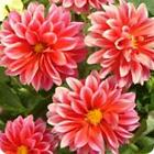 Outsidepride Dahlia Opera Red Flower Seeds