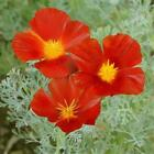Outsidepride California Poppy Red Chief Wildflower Seed