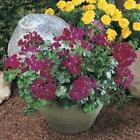 Outsidepride Ivy Leaf Geranium Burgundy Flower Seeds