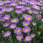 Outsidepride Blue Aster Flower Seeds