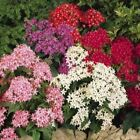 Outsidepride Pentas Mix Flower Seeds