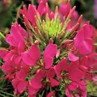 Outsidepride Cleome Rose Flower Seeds