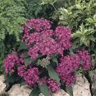 Outsidepride Pentas Violet Flower Seeds