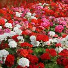 Outsidepride Geranium Mix Flower Seeds