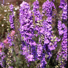 Outsidepride Larkspur Lilac Spire Flower Seeds