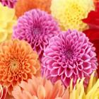 Outsidepride Dahlia Pompon Flower Seeds