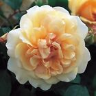 PURE MUSK ROSE ESSENTIAL OIL Rosa moschata NATURAL HERBAL FRAGRANCE PERFUME