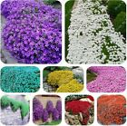 100 pcs Creeping Thyme Seeds Flower Seeds ROCK CRESS GROUND COVER Seeds