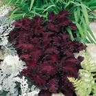 Outsidepride Coleus Black Dragon Flower Seeds