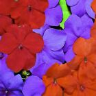 Outsidepride Impatiens Lorider GL Mix Flower Seeds