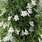 Outsidepride White Asarina Flower Seeds