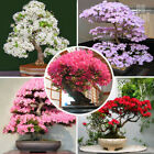 Japanese Sakura Сherry Seeds Bonsai Tree Seed Garden Cherry Blossoms 10PCS