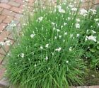 Chive, Garlic Chives Perennial Herb Seeds - Fresh and Hand Packaged