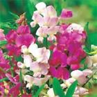 Outsidepride Sweet Peas Pearl Mix Flower Seeds