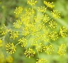 Dill Bouqet Seed NON GMO Heirloom Anethum graveolens USA spice herb seeds