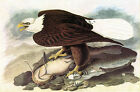 "Bald Eagle 2 -by John James Audubon -20""x26"" Art on Canvas"