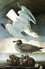 "Herring Gull and Black Duck -by John James Audubon -20""x26"" Art on Canvas"