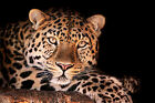 Leopard Canvas Pictures Animal Wild Cat Dark Spotted Wall Art Prints All Sizes