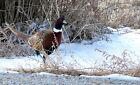 PHEASANT ON WINTER SNOW GAME BIRD CANVAS PICTURES COUNTRY WALL ART WORK PRINT