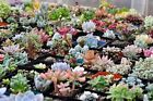 100 Rare Mixed Succulents Seeds Mini Potted Flower Organic S015