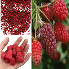 Giant Red Raspberry Seeds, Garden Fruit Plant, Juicy And Delicious