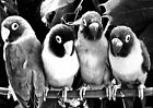 TROPICAL LOVEBIRD PARROTS BLACK WHITE POSTER PICTURE PRINT Sizes A5 to A0 **NEW*