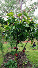 "12"" Cacao Theobroma Cocoa Chocolate Tree Plant Seedling FROM HAWAII"