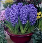SPRING FLOWER-  HYACINTHS BULBS  Blue Colour -Highly Perfume