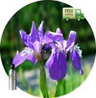 PURE ORRIS BLOSSOM ABSOLUTE OIL Iris Pallida NATURAL ABSOLUTE OIL FREE SHIPPING