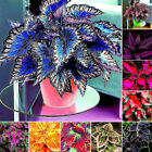 30Pcs Coleus Seeds Foliage Plants Color Arc-Dragon Beautiful Flower Semente HOT