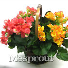 MIX Colors Rare Begonia Seeds Flower Seeds 10PCS/pack Bonsai Seeds for Home