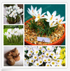 6,8 White Saffron Bulbs Netherlands Crocus Sativus Flower,Not Seed,Rare Flower