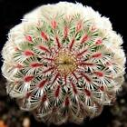 Hybrid Cactus Seeds Prevent Radiation Bonsai Mammillaria Hahniana OO55