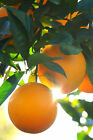 Dwarf Valencia Orange Seedless Fruit Citrus Tree Plant (Cant Ship AZ CA LA TX)