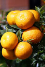 Chinotto Sour Orange(Myrtle Leaf Orange) Tree Plant Dwarf(Cant Ship AZ CA LA TX)