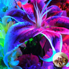 2 Bulbs Lily Bulbs Not Lily Seeds Royal Home And Garden Blue Color Rare Flowers