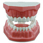Dental Teeth Model Brushing Flossing Practice Demonstration Typodont Study Model
