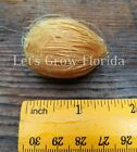 Areca catechu ( Germinated or Fresh & Clean ) Palm Tree Seeds Live Tropical
