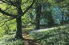 Woodland In Summer Bluebell Woods Landscape Canvas Pictures Wall Art Prints