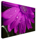 Purple Wet Gerbera Floral Flower Canvas Picture - Large+ Any Size
