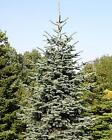 Noble Fir, Abies procera, Tree Seeds Christmas Tree Seeds