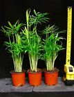 1 Upright Palm Chamaedorea Elegans Evergreen Indoor Plant Garden Bamboo Family