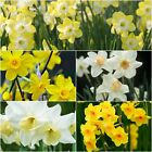 "Daffodil Bulbs ""Narcissi"" Dwarf Spring Flowering Narcissus ""Scented Varieties"""