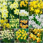 """Daffodil bulbs """"Narcissi"""" Dwarf Spring Flowering Narcissus Bulbs (IN THE GREEN)"""