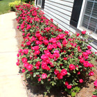 Double blooms Knock Out Rose Live Plant Easy to grow Great Green Gift Idea !