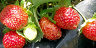 Red Berries Fruit 5-Pack Evie Strawberry Plants Non GMO Buy 2 Get 1 Top Producer
